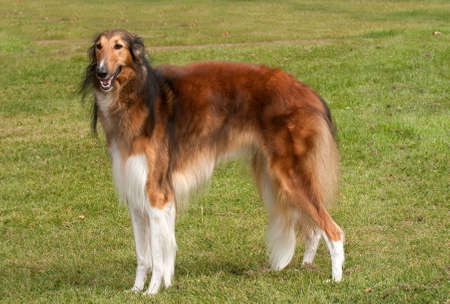 Borzoi hound, standing elegantly in a field
