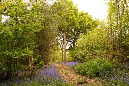 Leaf strewn path through bluebells in a chestnut & oak woodland in Sussex