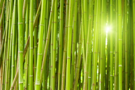 Green bamboo forest with bright morning sunlight