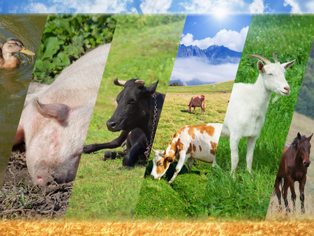 Livestock collage with photo of farm animals, breeding of farm animals - pig, cow, goat, horse, duck