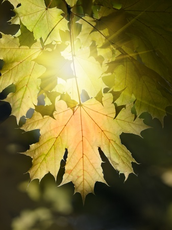 vibrant maple autumn leaves and sun shallow dofの写真素材