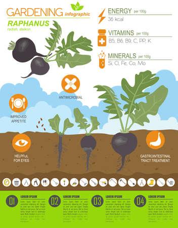Illustration pour Raphanus beneficial features graphic template. Gardening, farming infographic, how it grows. Flat style design. Vector illustration - image libre de droit