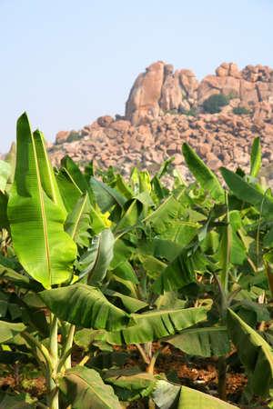 Banana trees among stunning rocky landscape of Hampi, India