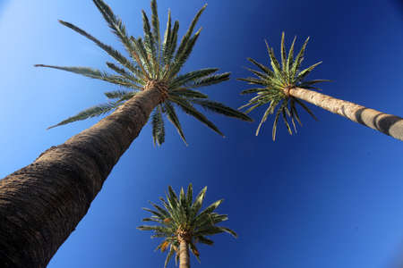 Tall palmtrees with the blue sky in the background