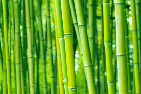 Photo pour Bamboo forest and thickets, trunks close up green eco texture - image libre de droit