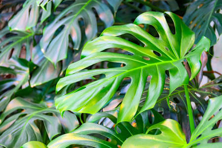 Photo pour Dense thickets of monstera creepers growing on the wall - image libre de droit