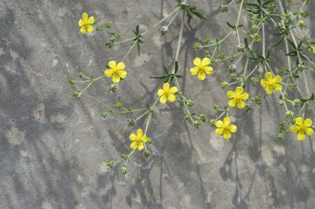 Photo for small yellow flowers on concrete background - Royalty Free Image