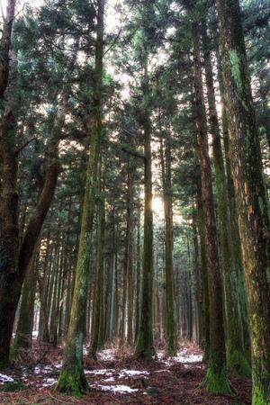 saryeoni cedar tree forest taken during winter time. Jeju Island, South Korea
