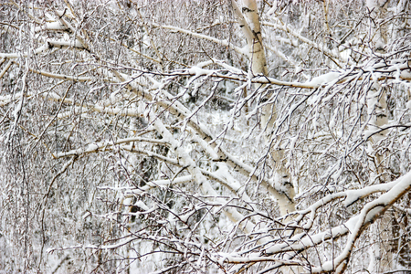Frozen branches of trees  covered with snow.の写真素材