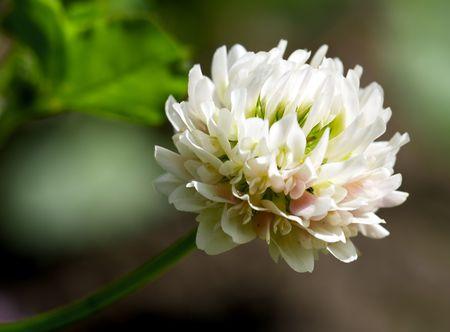 white clover (trifolium repens) at meadow close up