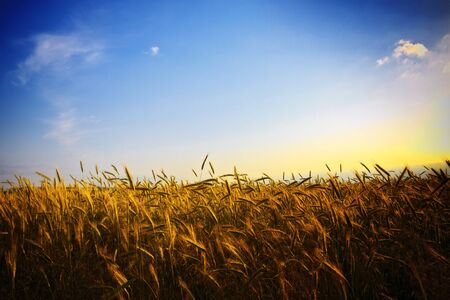 wheat field at golden sunset