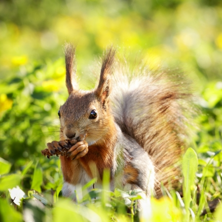 Photo for red squirrel in grass eating pinecone at summer day - Royalty Free Image