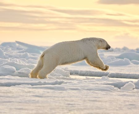 Polar bear leaping in the snow.  Horizontally framed shot.