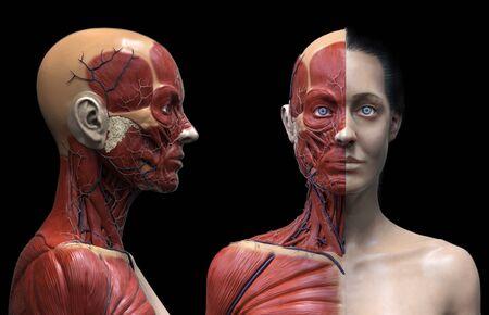 Foto de Human body anatomy of a woman - muscles structure of a female - Imagen libre de derechos