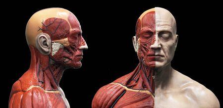 Foto de Human body anatomy of a man - muscles structure of a male - Imagen libre de derechos