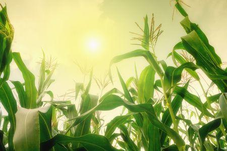 Tall corn field against summer sun