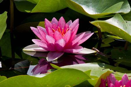Pink large open water lily f