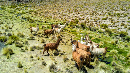 The original camel from the Andes, The Lama is an andean animal that lives in high altitudes like the Andes Altiplano