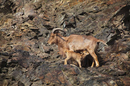 The Barbary Sheep  Ammotragus lervia , a species of goat-antelope