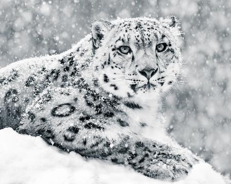 Photo pour Frontal Portrait of Snow Leopard in Snow Storm - image libre de droit