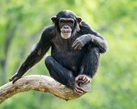 Photo pour Frontal Portrait of a Young Chimpanzee Relaxing on a Tree Branch - image libre de droit