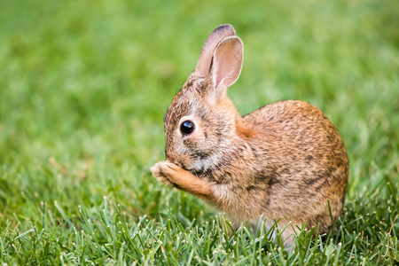Profile Portrait of New England Cottontail