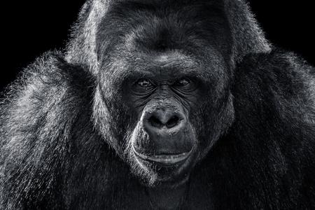 Photo pour Black and White Frontal Portrait of a Western Lowland Gorilla - image libre de droit