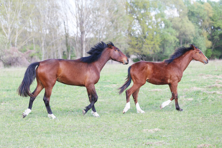 Photo pour Purebred young stallions galloping on green natural background springtime - image libre de droit