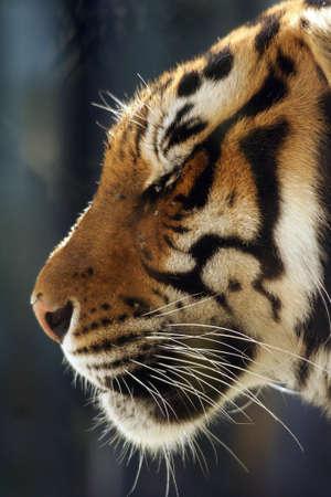 Big cats, tiger head