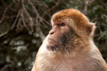 Famous monkey of the Rock of Gibraltar