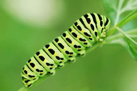Photo pour A beautiful green caterpillar on the leave - image libre de droit