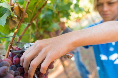 Photo pour Close-up male hands picking bunch of red grapes with garden pruner. Seasonal harvesting in countryside garden. Traditional and natural wine industry. Bunch of grapes on grapevine with green leaves - image libre de droit