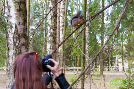 Photo for the woman photographs the squirrel sitting on a tree in the park in spring day - Royalty Free Image