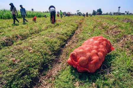Photo pour Farmers harvest Onion in farm - image libre de droit