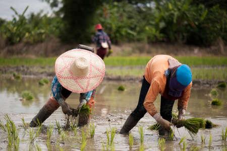 Thai farmers grow rice with fluency.