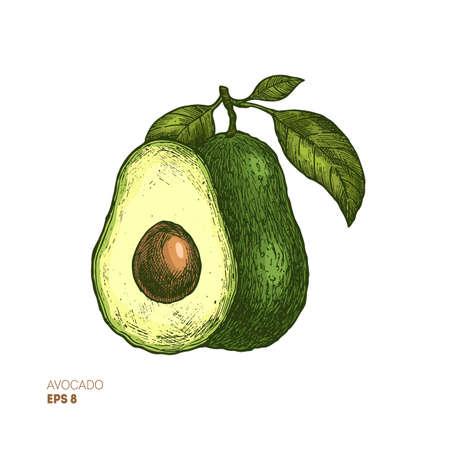 Ilustración de Colored avocado botanical illustration. Engraved style illustration. Packaging design. Vector illustration - Imagen libre de derechos