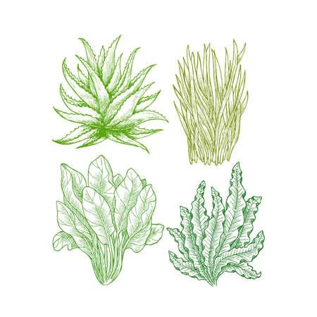 Illustration pour Super greens illustration. Aloe, wheatgrass, spinach, spirulina (seaweed). Green plants. Vector illustration - image libre de droit
