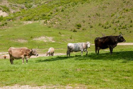 Photo pour Buzau, Romania rural landscape with cows - Summer time in country side - image libre de droit