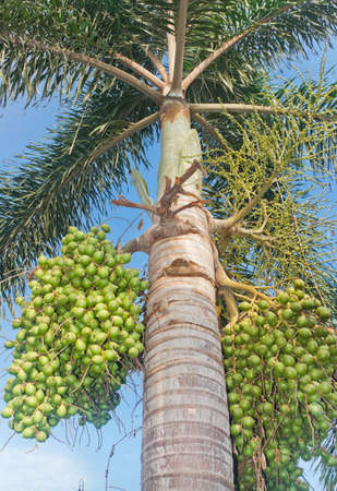 Royal Palm And Seeds