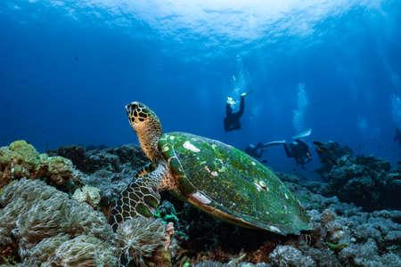 Photo pour Hawksbill turtle underwater swimming on coral reef scuba diving - image libre de droit