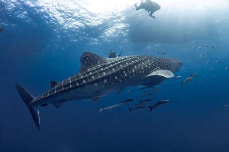 Photo pour giant Whale shark swimming underwater with scuba divers - image libre de droit