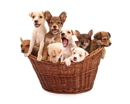 A litter of eight week old mixed breed puppies in a wicker basket isolated against a white backdrop