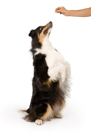 Photo for Shepherd mix dog on hind legs begging for a treat that is in his owner's hand. Isolated on white. - Royalty Free Image