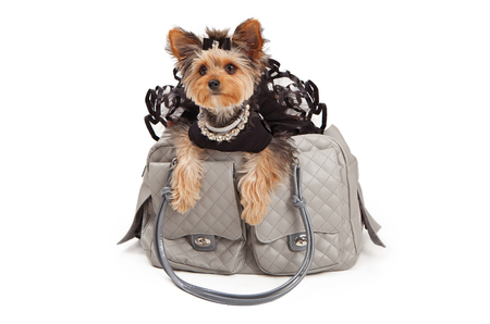 A spoiled Yorkshire Terrier Dog wearing a black tutu and rhinestone necklaces that is sitting in a gray luxury travel carrier. Isolated against a white backdrop
