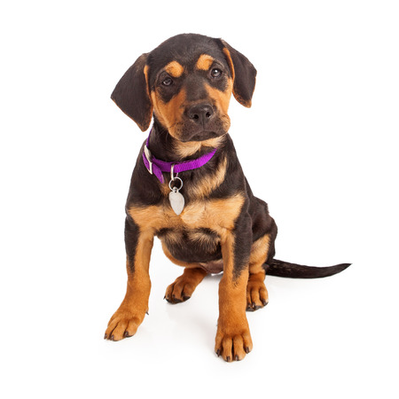 Rottweiler puppy wearing a purple collar and blank tag sitting against a white