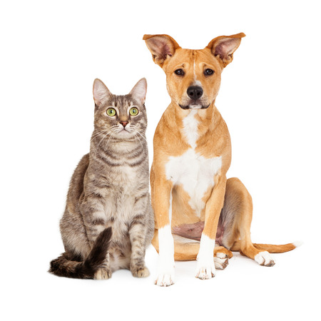 A cute yellow and white dog and a brown tabby cat sitting together
