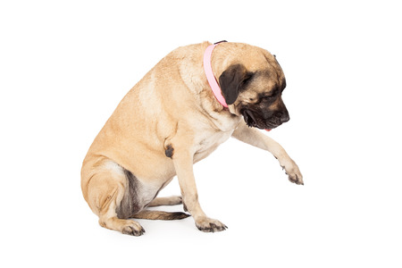 A large Mastiff dog extending her paw out and looking down. Place your product under her paw to show her interacting with it.