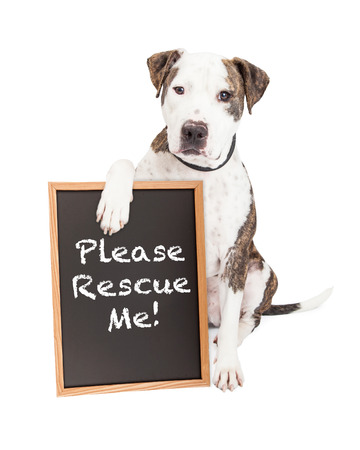 Cute and friendly Pit Bull Dog holding a chalkboard with the words Please Rescue Me