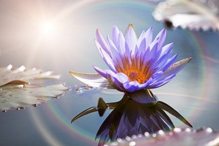 Photo pour A beautiful purple lotus flower in a still water pond with a reflection and sun rainbow ring light - image libre de droit