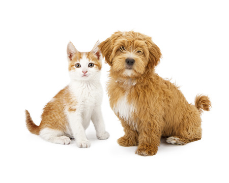 Photo pour A cute little Havanese puppy and an orange tabby kitten sitting together - image libre de droit